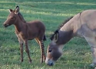 Cross-Between-Donkey-And-Zebra